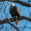 Bald Eagle with Eel