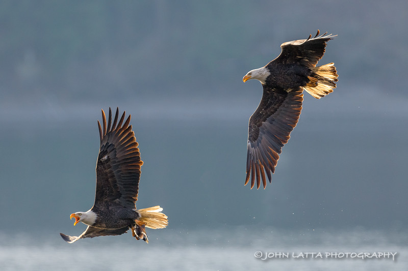 Eagle with Kokanee Being Chased