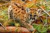Cougar Cub.