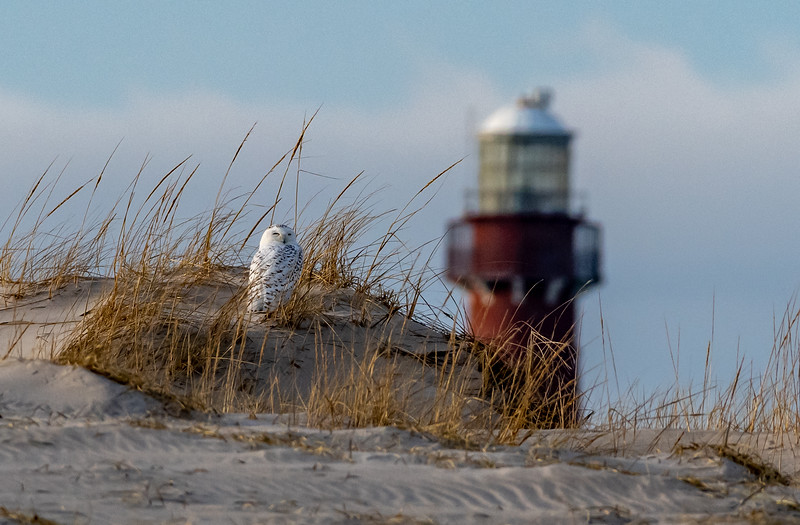 A Snowy Owl In The Dunes With Barnegat Lighthouse In The Distance 12/31/18