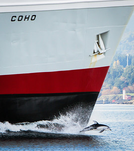 Dolphin on the Bow of the M.V. Coho