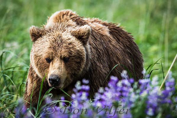 Alaskan coastal brown bear in lupine.