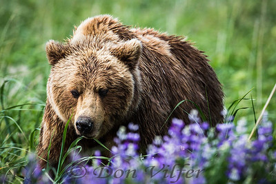 Alaskan coastal brown bear in lupine.