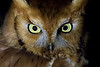 Eastern Screech Owl (Wild)