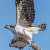 Osprey Taking Off 4/11/17