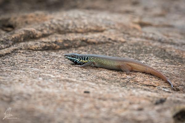 Trachylepis quinquetaeniata
