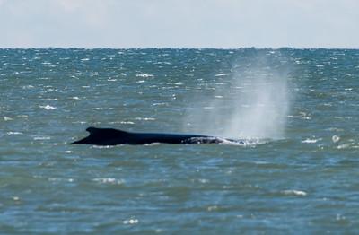Humpback Whale 11/26/17
