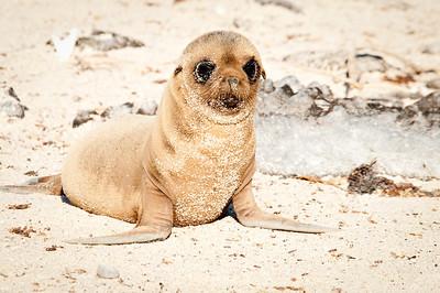 Baby sea lion - Isla Española