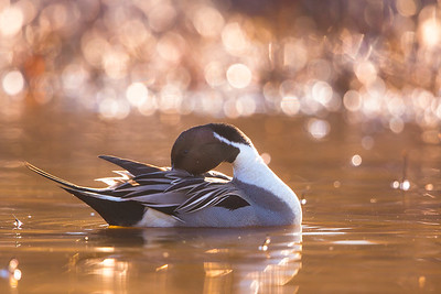 Pintail In The Morning Sun