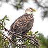 Bald Eagle in the Rain 10/21/16