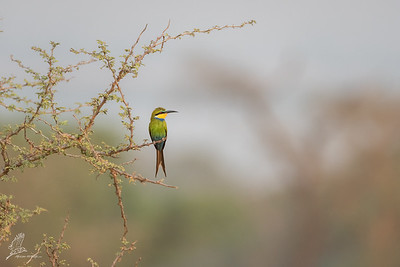 Bee-eater, Swallow-tailed (spp. heuglini)