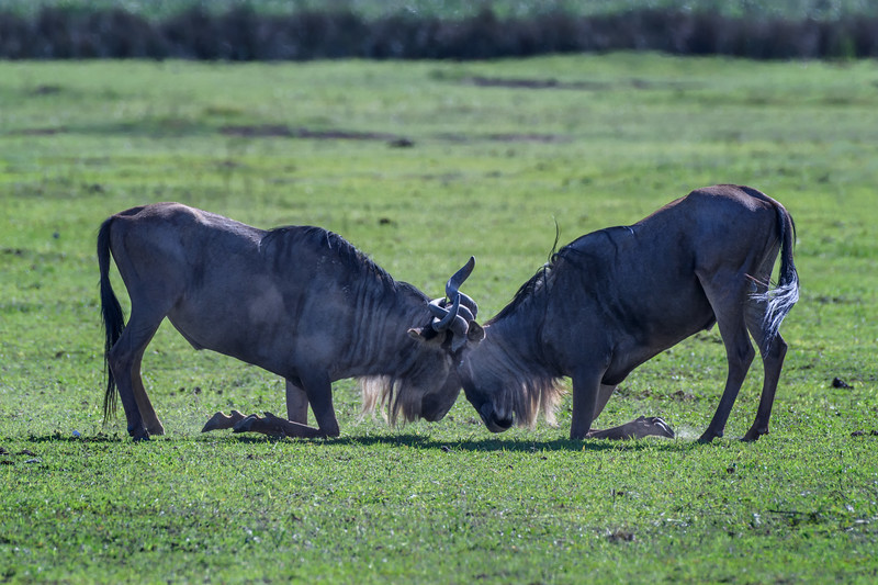 Two wildebeests going head to head, Ngorongoro Crater, Tanzania, East Africa
