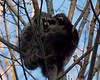 Raccoons and The Noisy Neighbor