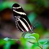 Butterfly Zebra