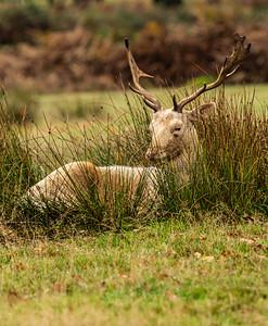 UK - Leicestershire - Bradgate Park - White Fallow Deer