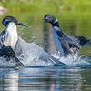 Aggressive Territorial Display Between Loons