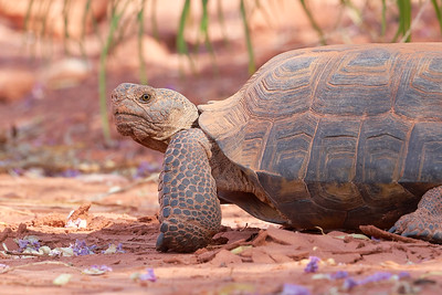 Desert Tortoise eating flowers in Snow Canyon