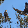 Bald Eagle Pair Perched