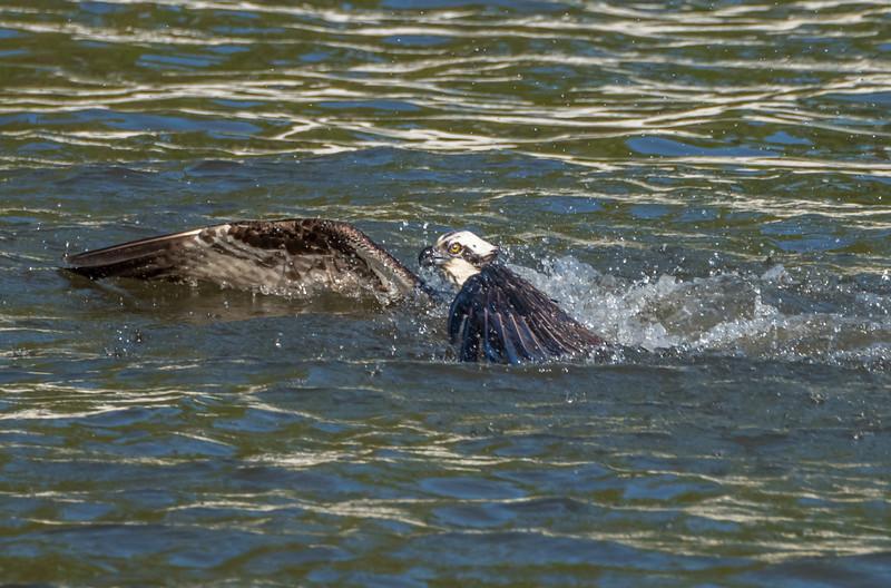 Osprey Hunting 5/7/17