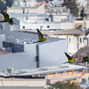 Wild Parrots of San Francisco