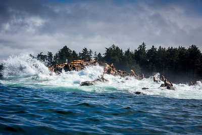 Stellar Sea Lions, British Columbia
