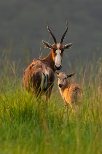 Blesbok with child