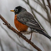 Robin, a true sign of Spring