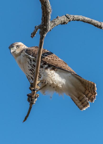 Krider Red-Tailed Hawk 11/11/16