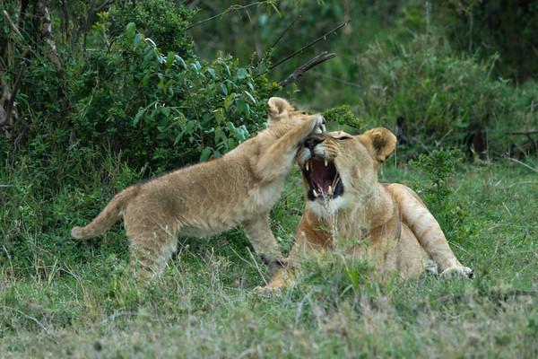 Lion cub with lioness