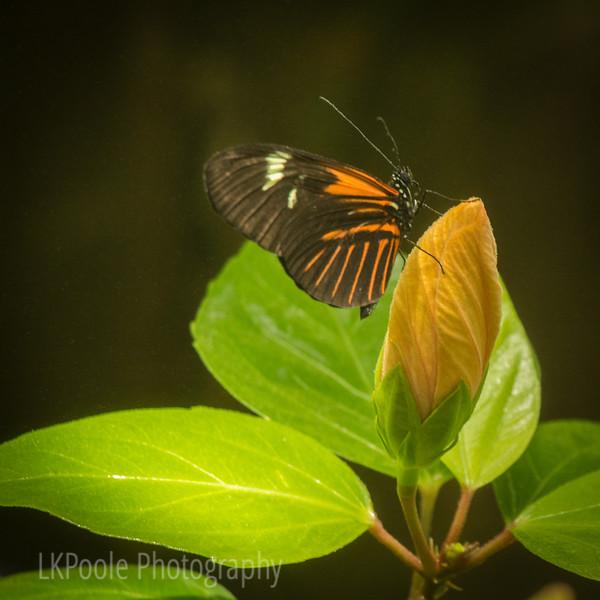 Butterfly on Bud