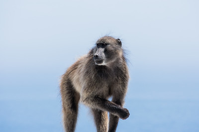 Baboon, Cape Point, South Africa
