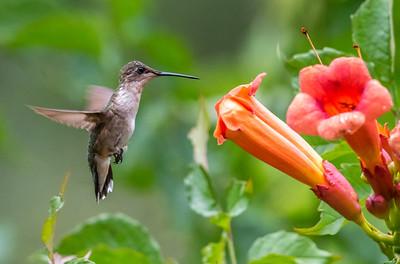 Ruby-Throated Hummingbird 7/18/18