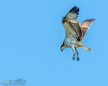 Osprey ready for the kill