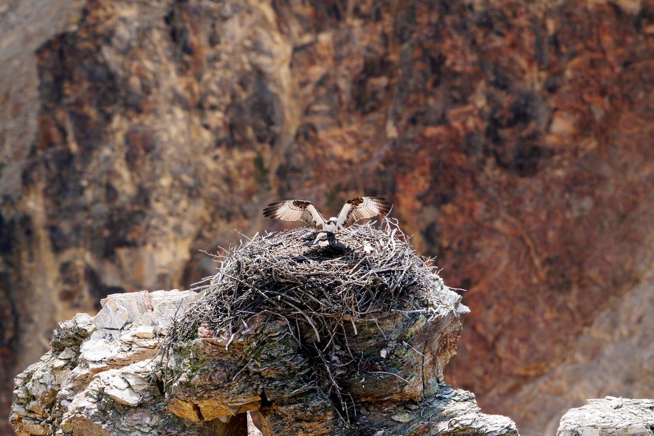 Osprey - Yellowstone National Park