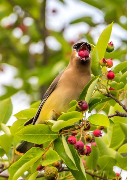 Cedar Waxwing Eating Berries 6/7/17