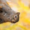 Gray Squirrel with Autumn colours in Background