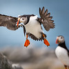 Puffin in Flight with Sandeels