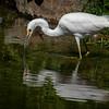 Snowy Egret & Reflection