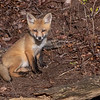 A Red Fox Kit 5/7/20