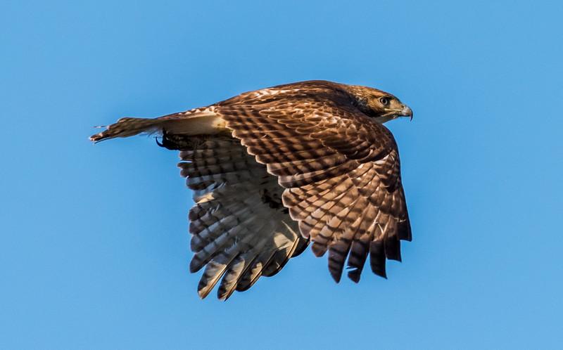 Red-Tailed Hawk in Flight 4/21/18