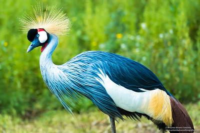 Grulla Coronada / Crowned Crane