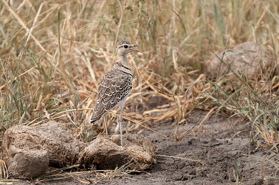 Courser, Double-banded (spp. gracilis)