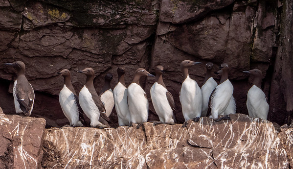 Parading murres
