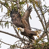 Bald Eagle Taking Off From Nest 1/19/17