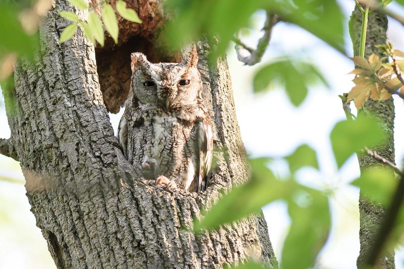 126- Eastern Screech Owl