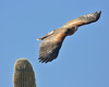 A Southwestern Specialty: Harris's Hawk