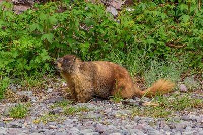 Marmot Guarding the mine portal in Telluride