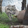Snow Leopard Cubs at play