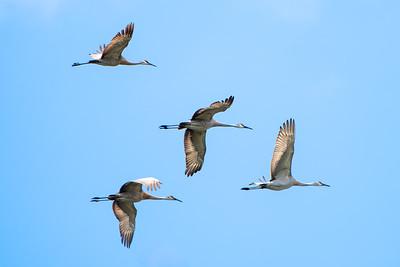380- Sandhill Crane
