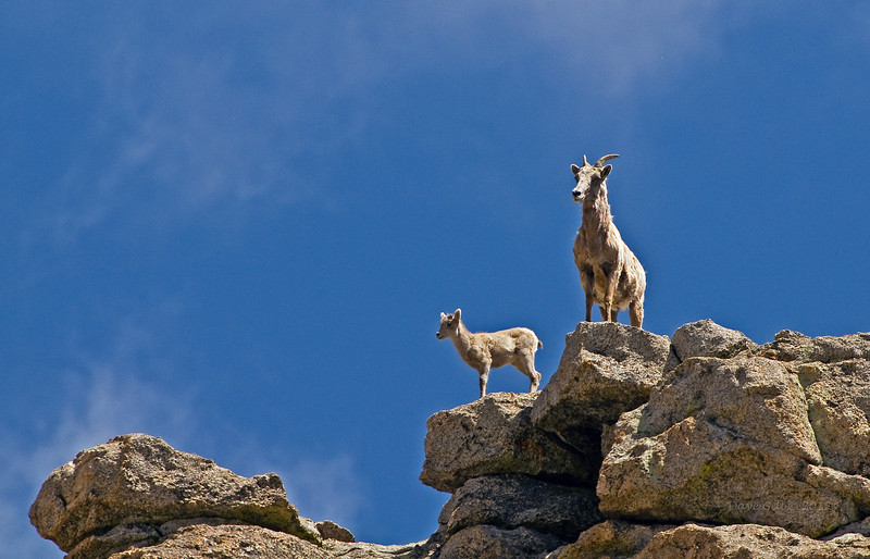 Ewe and lamb (Ovis canadensis) above the timberline in the Colorado Rockies.